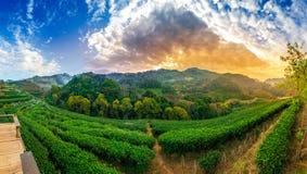 Herbaty herbaty gospodarstwa rolnego Doi Ang Khang Chiang rolny organicznie 2000 Mai Tajlandia w ranek panoramach zdjęcie stock
