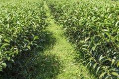 Herbaty Gospodarstwo rolne Zdjęcie Stock