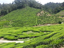 Herbaty gospodarstwo rolne Obraz Stock