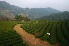 Herbaty gospodarstwo rolne Fotografia Stock