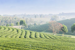 Herbaty gospodarstwo rolne Obrazy Stock