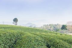 Herbaty gospodarstwo rolne Zdjęcia Stock