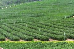 Herbaty gospodarstwo rolne, alishan góra Zdjęcie Stock