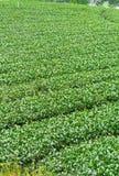 Herbaty gospodarstwo rolne, alishan góra Fotografia Royalty Free