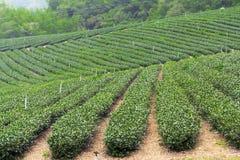 Herbaty gospodarstwo rolne, alishan góra Zdjęcia Stock
