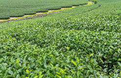 Herbaty gospodarstwo rolne, alishan góra, Tajwan Zdjęcie Stock