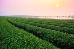 Herbaty pole obrazy royalty free
