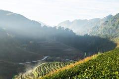 Herbaty pole i ranek zaparowywamy, przy Doi Angkhang w Chiangmai, Tha Obraz Royalty Free