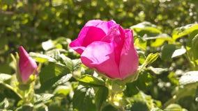 Herbaty r??y kwiat na s?onecznym dniu fotografia stock