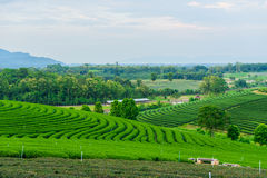 Herbaty rolny niebieskie niebo zdjęcia stock
