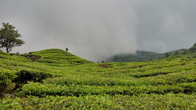 Herbaty ziemia przy zachodnim Java Fotografia Stock