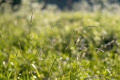 Herbe, épillets Photographie stock libre de droits