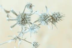 Herbe épineuse sèche photo stock