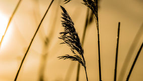 Herbe éternelle dans la lumière jaune de matin Photo stock