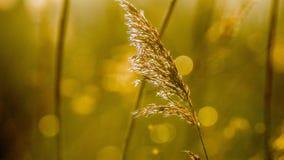 Herbe éternelle dans la lumière jaune de matin Photographie stock libre de droits