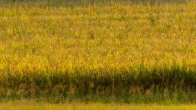 Herbe éthérée en Italie photo libre de droits