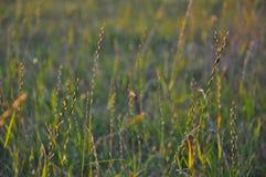 Herbe accentuée en égalisant le soleil photographie stock