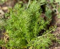 Herbe allemande de vert de chamomilla de Matricaria de camomille Photo stock