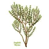 Herbe anglaise fraîche de thym Images libres de droits
