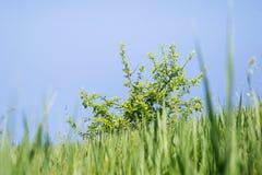 Herbe, arbre et ciel bleu Photographie stock
