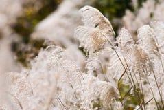 Herbe argentée japonaise Photo libre de droits