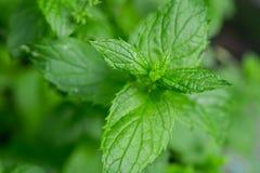 Herbe aromatique fraîche de menthe verte dans le jardin image stock