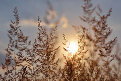 Herbe au coucher du soleil Images stock