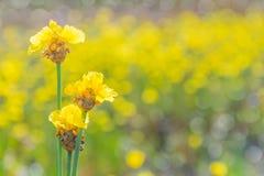 Herbe aux yeux jaunes grande, Xyridaceae, champ d'usine de fleur pendant la saison de récolte du riz non-décortiqué Images libres de droits