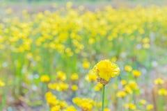 Herbe aux yeux jaunes grande, Xyridaceae, champ d'usine de fleur pendant la saison de récolte du riz non-décortiqué Photographie stock