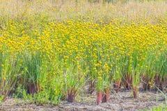 Herbe aux yeux jaunes grande, Xyridaceae, champ d'usine de fleur pendant la saison de récolte du riz non-décortiqué Photos libres de droits