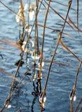 Herbe avec des baisses gelées dans l'eau Image libre de droits