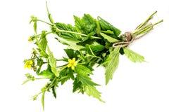 Herbe Bennett (urbanum de plante médicinale de Geum) photo stock