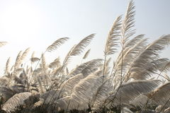 Herbe blanche Photographie stock