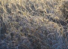 herbe Bleu-d'or avec un fond brouillé image libre de droits