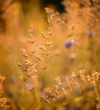 Herbe colorée sèche d'été Images stock