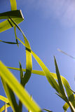 Herbe contre le ciel photos libres de droits