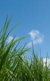 Herbe contre le ciel bleu Photographie stock libre de droits