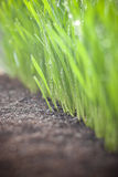 Herbe croissante de blé photo libre de droits