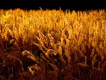 Herbe d'or. image stock
