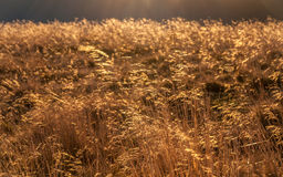 Herbe d'or Image stock