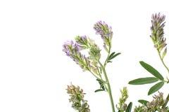 Herbe d'Alfaalfa sur le blanc Photographie stock