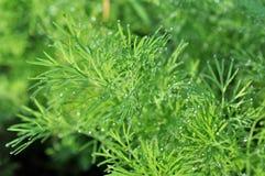 Herbe d'aneth s'élevant dans le jardin image stock