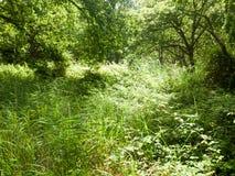 Herbe d'arbre et d'ivrogne dans la forêt dans l'heure d'été photos stock