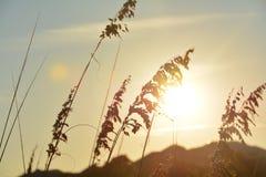 Herbe d'or dans le coucher du soleil Image stock