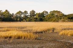 Herbe d'or dans le marais sec Photo stock