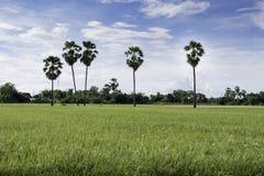Herbe dans des domaines de riz Photos stock