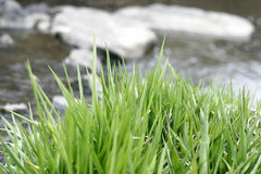 Herbe dans l'eau Photographie stock