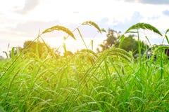 Herbe dans la ferme de riz Photographie stock