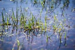 Herbe dans la piscine de l'eau peu profonde Photos libres de droits