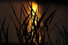 Herbe dans le coucher du soleil Photos libres de droits